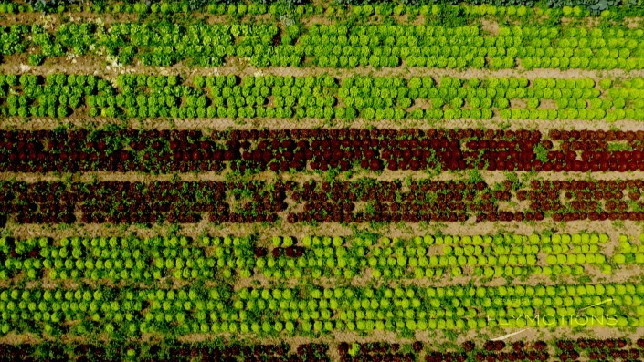 Salad on a field in Germany. Geometry. Aerial view, with drone.